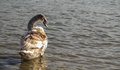 Cygnet young swan with brown feathers standing in winter water Stock Photos