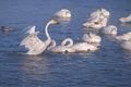 Cygnus cygnus - whooper swan flittering on Altai lake Royalty Free Stock Photo