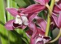 Cymbidium hybrid orchid red flower Royalty Free Stock Photos