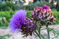 Cynara cardunculus flowers in an orchard Royalty Free Stock Photo