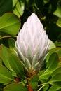 Cynaroides pale pink protea Royaltyfri Fotografi
