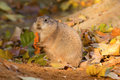 Cynomys ludovicianus happily eating before winter sleep Royalty Free Stock Images