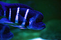 Cyphotilapia frontosa blue with white stripes tropical fish in an aquarium Royalty Free Stock Photography