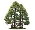 Cypress Bonsai Tree