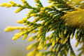 Cypress bough with yellow ends Royalty Free Stock Photography