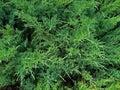 Cypress branches. Macro photo.