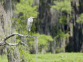 Cypress Egret Royalty Free Stock Photo