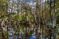 Cypress of the Everglades reflecting in a swamp Royalty Free Stock Photo