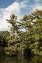 Cypress Grove Royalty Free Stock Photo