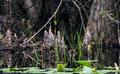 Cypress Knees, Okefenokee Swamp National Wildlife Refuge