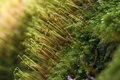 Cypress sleep moss hypnum cupress macro Stock Photos