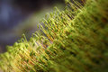 Cypress sleep moss hypnum cupress macro Stock Images