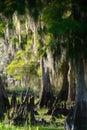 Cypress Swamp Royalty Free Stock Photo