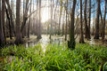Cypress swamp in northern Florida Royalty Free Stock Photo