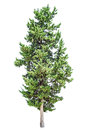 Cypress tree isolated