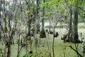Cypress tree in Lettuce lake