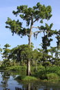Cypress tree in swamp closeup of a the louisiana with a light blue sky Royalty Free Stock Photos