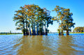 Cypress trees in atchafalaya basin turning golden in fall Stock Image