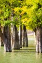 Cypress trees closeup in the lake water Royalty Free Stock Photo