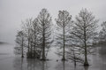 Cypress Trees Frozen in Ice and Shrouded in Fog Royalty Free Stock Photo