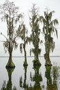 Cypress Trees grow in water Royalty Free Stock Photo