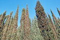 Cypress trees large group of against a blue sky Royalty Free Stock Images