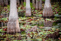 Cypress trees and lily pads Stock Image
