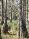 Cypress trees walking near wetlands and saw the moss blowing in wind Stock Photography