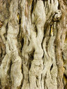 Cypress trunk Royalty Free Stock Photo