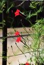 Cypress vine Royalty Free Stock Photo