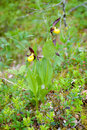 Cypripedium calceolus Royalty Free Stock Photo