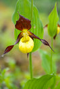 Cypripedium calceolus.moccasin flower Royalty Free Stock Photo