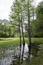 Cyprus swamp dark water with spanish moss draped on the tree branches Stock Image