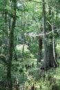 Cyprus Swamp Royalty Free Stock Photo