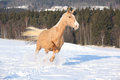 Czech warmblood years old mare running snow Royalty Free Stock Photography
