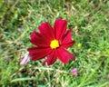 Czerwonego kosmosu pollen żółty zakończenie up Zdjęcia Royalty Free
