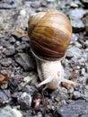 Détail blanc d'escargot sur de petites roches Photographie stock