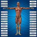 3D human male anatomy with muscles and text Royalty Free Stock Photo