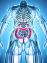 3D illustration of Large Intestine.