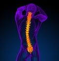D odpłacają się medyczną ilustrację ludzki kręgosłup Zdjęcia Royalty Free