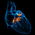D render heart valve front view Stock Photo