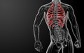 D render illustration of the rib cage back view Stock Images