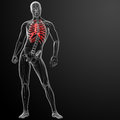D render illustration of the rib cage front view Royalty Free Stock Image