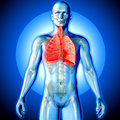 3D render of a medical image of a male figure with lungs highlighted