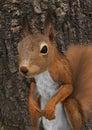 3D Rendering European Red Squirrel