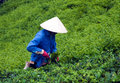 Da lat viet nam july the man wear conical straw hat pick browse from tea plant and put into basket at tea plantation Royalty Free Stock Image