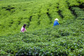 Da lat viet nam july two people wear conical straw hat pick browse from tea plant and put into basket at tea plantation Royalty Free Stock Photography