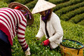 Da lat viet nam july two woman wear conical straw hat pick browse from tea plant and put into basket at tea plantation Royalty Free Stock Photo