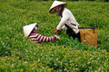 Da lat viet nam july two woman wear conical straw hat pick browse from tea plant and put into basket at tea plantation Stock Photo