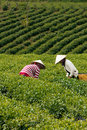 Da lat viet nam july two woman wear conical straw hat pick browse from tea plant and put into basket at tea plantation Stock Photography